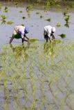 La donna indiana non identificata dell'agricoltore lavora in Tamil Nadu indiano del sud Immagine Stock Libera da Diritti