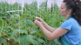 La donna lega fino al traliccio del cetriolo e taglia i viticci della pianta video d archivio