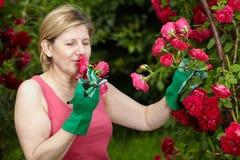 La donna matura sente l'odore del colore rosso fresco del taglio è aumentato Fotografie Stock Libere da Diritti