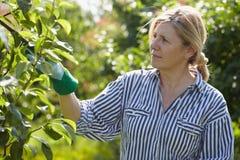 La donna matura si occupa degli alberi nel suo frutteto Immagine Stock Libera da Diritti
