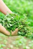 La donna passa l'erba di raccolto al giardino fotografia stock