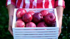 La donna passa la tenuta della scatola di legno con le mele organiche mature appena raccolte alla luce del sole, sull'azienda agr stock footage