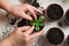 La donna pianta una pianta da appartamento Fotografia Stock Libera da Diritti