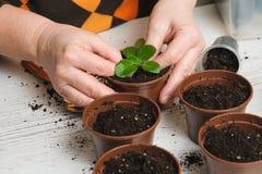 La donna pianta una pianta da appartamento Fotografia Stock
