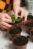 La donna pianta una pianta da appartamento Immagine Stock Libera da Diritti