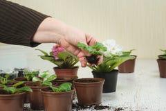 La donna pianta una pianta da appartamento Immagini Stock Libere da Diritti