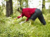 La donna prende i mirtilli Fotografie Stock Libere da Diritti