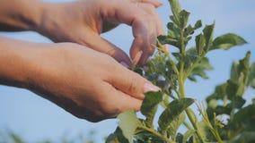 La donna raccoglie i cespugli con le dorifore della patata dei parassiti della patata stock footage
