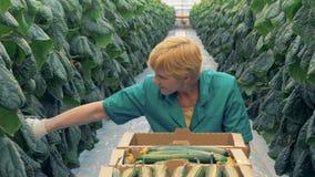 La donna raccoglie i cetrioli, fine su Una manodopera agricola seleziona i cetrioli in una grande serra video d archivio