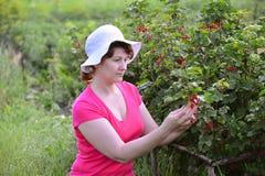 La donna raccoglie il raccolto del ribes in giardino Fotografie Stock