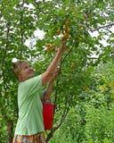 La donna raccoglie le albicocche su una sezione del paese Fotografie Stock Libere da Diritti