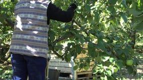 La donna riunisce la frutta matura della mela a tempo di raccolto in piantagione 4K archivi video