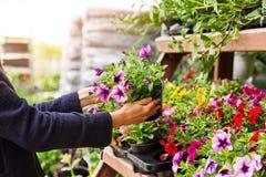 La donna sceglie i fiori della petunia al deposito della scuola materna della pianta di giardino immagini stock libere da diritti