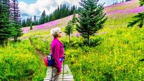 La donna senior su una traccia di escursione in prati alpini coperti in epilobio rosa fiorisce Fotografia Stock