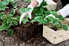 La donna sta piantando le piante di fragole Immagine Stock Libera da Diritti