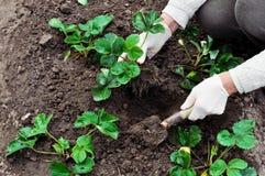 La donna sta piantando le piante di fragole Fotografia Stock