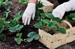 La donna sta piantando le piante di fragole Fotografia Stock Libera da Diritti