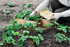 La donna sta piantando le piante di fragole Immagine Stock