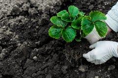 La donna sta piantando le piante di fragole Immagini Stock