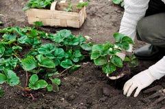 La donna sta piantando le piante di fragole Immagini Stock Libere da Diritti
