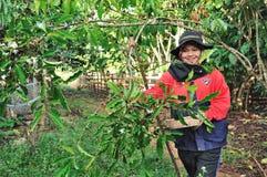 La donna sta raccogliendo le bacche di caffè Immagini Stock Libere da Diritti