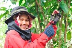 La donna sta raccogliendo le bacche di caffè Fotografia Stock Libera da Diritti