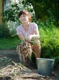 La donna sta selezionando la cipolla Immagine Stock
