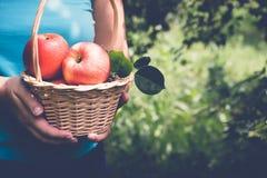 La donna sta tenendo un canestro delle mele Fuoco selettivo, spazio della copia Fotografia Stock