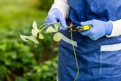 La donna taglia il corridore dalla pianta di fragola Immagine Stock