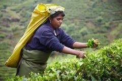 La donna tamil seleziona le foglie di tè fresche Immagini Stock