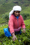 La donna tamil seleziona le foglie di tè fresche Immagine Stock