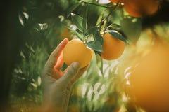 La donna tiene le foglie verdi di frutti dell'arancio Comcept di agricoltura Immagine Stock Libera da Diritti
