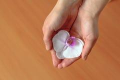 La donna tiene in sue mani l'orchidea del fiore Fotografia Stock