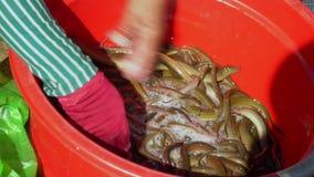 La donna tocca un bacino con le anguille Grande numero delle anguille in tensione Il compratore sceglie le anguille in negozio vi stock footage