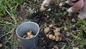 La donna versa le patate del raccolto in carriola stock footage