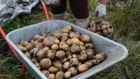 La donna versa le patate del raccolto in carriola archivi video