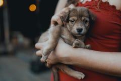 La donna in vestito rosso tiene il cucciolo sveglio in mani Fotografia Stock