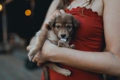 La donna in vestito rosso tiene il cucciolo sveglio in mani Fotografie Stock