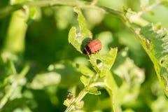 La dorifora del parassita di insetto mangia le foglie verdi delle patate in una s fotografia stock