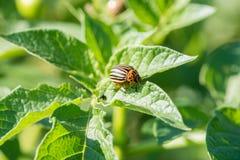 La dorifora del parassita di insetto mangia le foglie verdi delle patate in una s immagini stock libere da diritti
