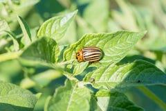 La dorifora del parassita di insetto mangia le foglie verdi delle patate in una s fotografie stock libere da diritti