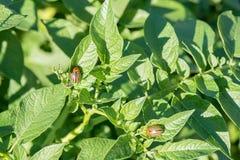 La dorifora del parassita di insetto mangia le foglie verdi delle patate in una s immagini stock
