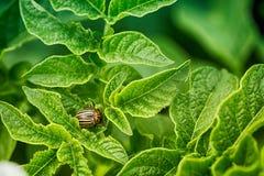 La dorifora della patata mangia le foglie della patata, primo piano Immagini Stock Libere da Diritti
