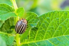 La dorifora della patata mangia le foglie verdi della patata Parassita di insetto del giardino Fotografia Stock
