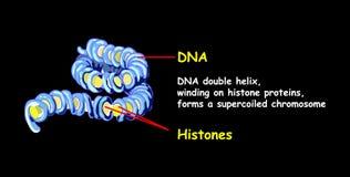 La double hélice de l'ADN se renversant sur des protéines d'histone forme un chromosome de superspread Reproduction d'ADN d'isole illustration de vecteur