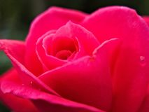 La douceur de Rose Close-Up photographie stock