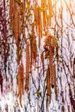 La ejecución florece los abedules, salida del sol, un morning_ hermoso de la primavera Fotografía de archivo libre de regalías