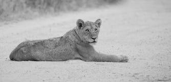 La endecha joven del león en la suciedad leyó la conversión artística Imagen de archivo libre de regalías