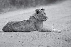 La endecha joven del león en la suciedad leyó la conversión artística Fotografía de archivo