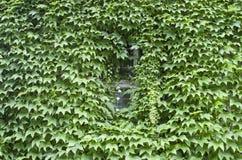 La enredadera de Virginia cubrió la pared con la ventana Imagen de archivo libre de regalías
